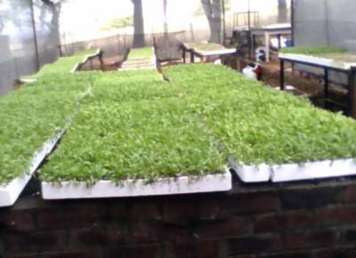 spinachseedlingsforsalevanderbijlpark1433314852